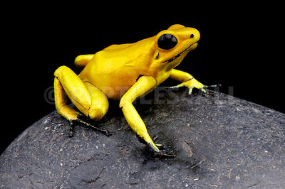 Golden poison dart frog / Phyllobates terribilis photos