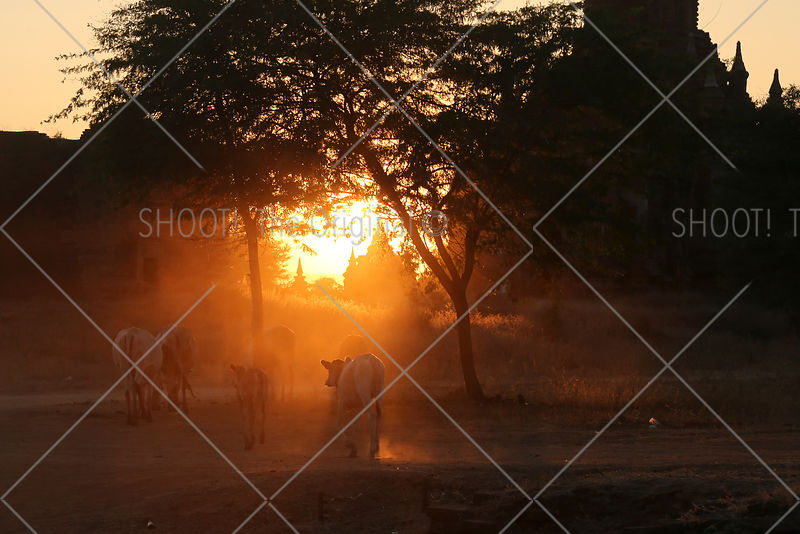 Sunset with bulls at Bagan,Myanmar,Burma