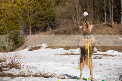 airedale terrier leaping into air to catch a snowball