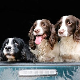 Grove Farm Spaniels photos