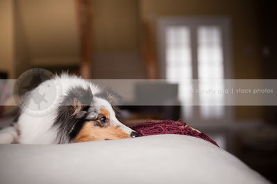 tired merle sheltie dog lying resting on couch at home indoors