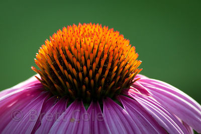 Echinacea flower at the National Zoo in Washington, DC