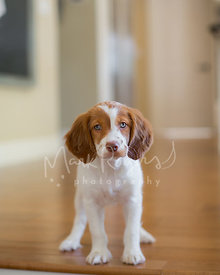 Spaniel puppy standing in room looking at camera