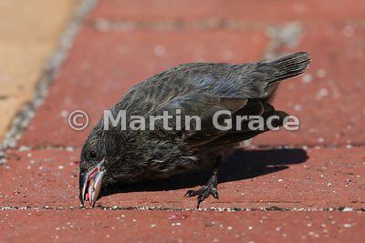 Cactus Ground Finch male (Geospiza scandens), Santa Cruz, Galapagos