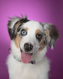 Smiling Happy Miniature Australian Shepherd Puppy Against Purple Studio Background