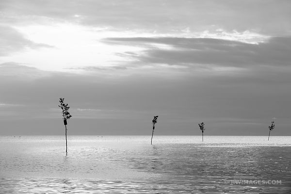 CLAM TREES ROCK HARBOR ORLEANS CAPE COD BLACK AND WHITE