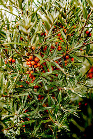 Danish sea buckthorn 4