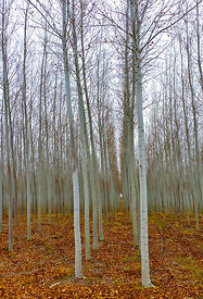 Tree Forest vertical