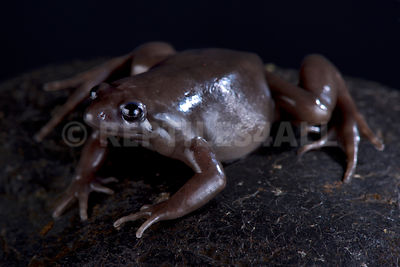 Costa Rica Nelson frog (Ctenophryne aterrima)  photos