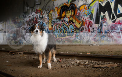fearful longhaired dog standing at train tracks with urban graffiti
