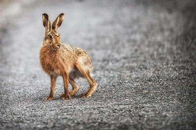Longstone Larry the hare who i see daily living on the hillside along with a multitude of rabbits. Larry likes to sit on the road but fortunatly for him you may get 3 cars a day going up it and thats on a busy one.....
