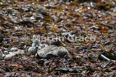 Falkland Steamer Duck (Tachyeres brachypterus) with single duckling, well camouflaged in seaweed, Pebble Island