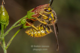 Paper Wasp, Don Edwards Wildlife Refuge, Alviso, CA, USA