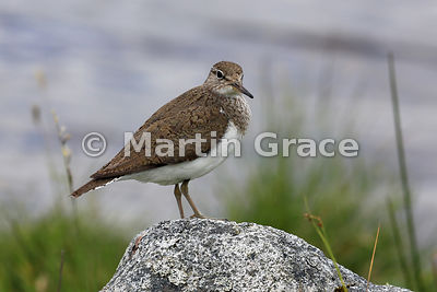 Common Sandpiper (Actitis hypoleucos),  Lochindorb, Inverness-shire, Scotland: Image 2 of 3 - head partly turned