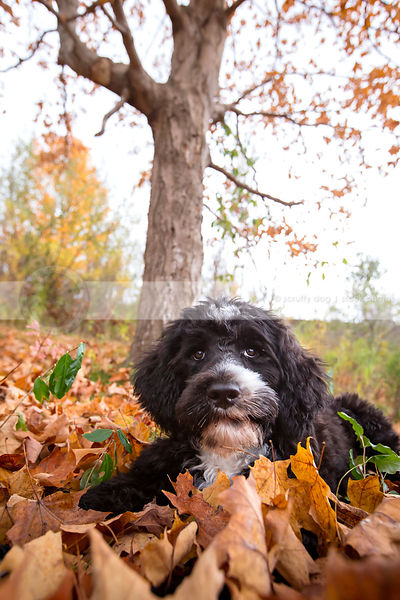 black and white groomed puppy lying autumn leaves