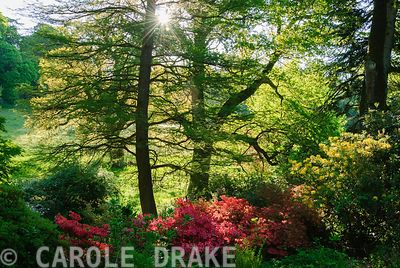 Mature oaks tower over brightly coloured azaleas. Minterne, Minterne Magna, Dorset, UK