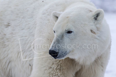 Polar Bears photos