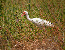 White-Ibis-in-the-grass