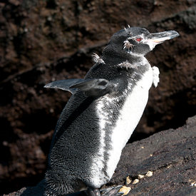 Galapagos Penguin wildlife photos