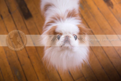 expressive dog looking upward from hardwood floor