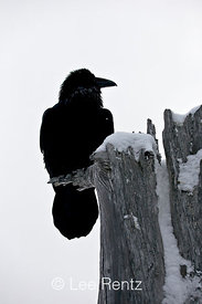 Common Raven (Corvus corax) perched on a dead tree on Hurricane Ridge, Olympic National Park, Olympic Peninsula, Washington, USA, March, 2009_WA_8180
