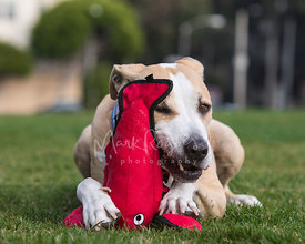 Pitbull Mix Chewing on a red Lobster Toy with Funny Expression