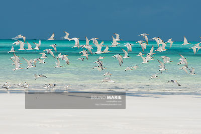 Sooty terns and/or greater crested terns (Onychoprion fuscatus and/or Thalasseus bergii)