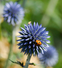 Echinops et coccinelle Ennery Val d'Oise 06/11