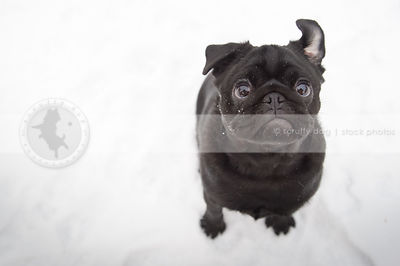 overhead shot of cute black pug staring at camera from white background