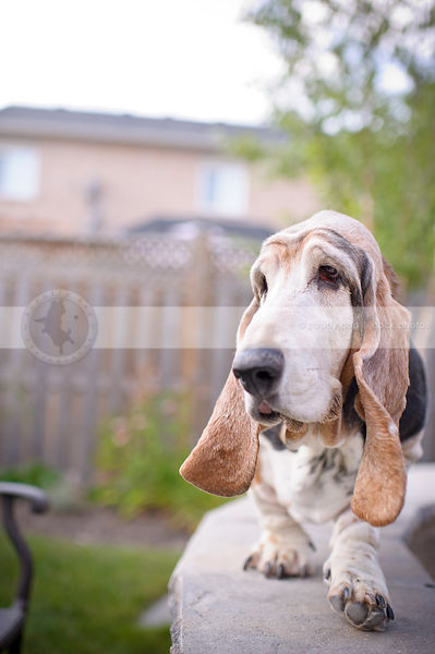 senior basset hound dog balancing on stone wall in yard