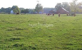 Field of cows near Newman, Illinois