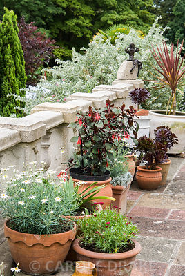 Terracotta pots on the terrace are planted with succulents including Aeonium arboreum, white flowered Argyranthemum foeniculaceum, fuschias and cordyline. The Shute, nr Ventnor, Isle of Wight, UK