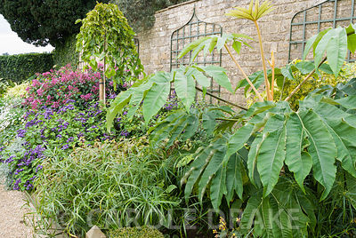 Border full of lush, exotic plants including large-leaved Tetrapanax papyrifer 'Rex', Cyperus alternifolius, deep pink Fuchsia arborescens and purple Heliotropium arborescens 'Gatton Park'.  Bourton House, Bourton-on-the-Hill, Moreton-in-Marsh, Glos, UK