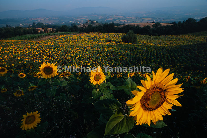 Sunflower fields stretch to a near-by farm in a section of Italy.