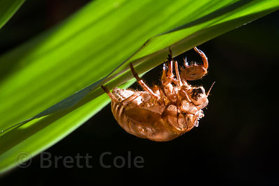 Empty exoskeleton of a cicada (sp.) clinging to the underside of a leaf, Las Nubes, Costa Rica