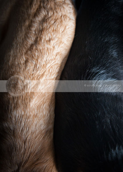 closeup of coat fur of two yellow and black dogs together