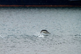 Porpoising chinstrap penguin found at Whaler's Bay, Deception Island.