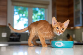 Abyssinian Kitten Standing Near Cat Bowl with Tongue Sticking Out