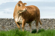 Limousin heifers out on pasture, Lancashire, UK