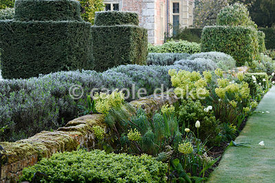 Border with box, euphorbias and white tulips with lavender and clipped yews behind at Heale House, Middle Woodford, Wiltshire on a frosty April morning