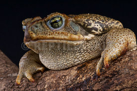 Giant toad (Bufo paraguayensis)