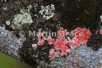 Bright pink lichen growing on a tree branch, San Cristobal, Galapagos