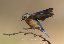 Western Bluebird, Female
