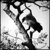 5725-Baboon_shade_in_a_tree_South_Africa_2008_Laurent_Baheux