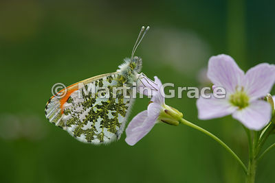 Male Orange Tip butterfly (Anthocharis cardamines) waiting on Cuckoo Flower (Lady's Smock) (Cardamine pratensis) for a female to mate with, Cumbria, England