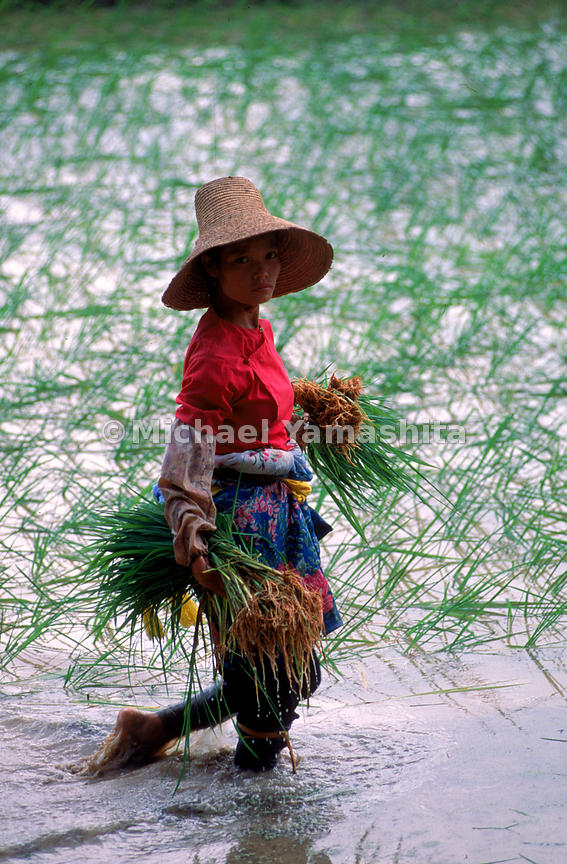 Bai Woman trasplant rice for oneof the annual harvest, Yunnan, China