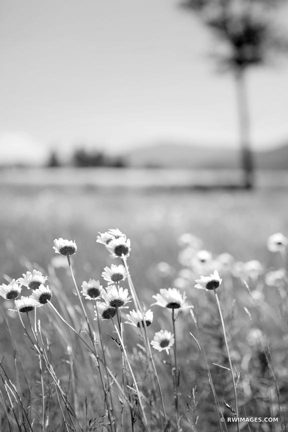 SUMMER WILDFLOWERS ADIRONDACK MOUNTAINS BLACK AND WHITE
