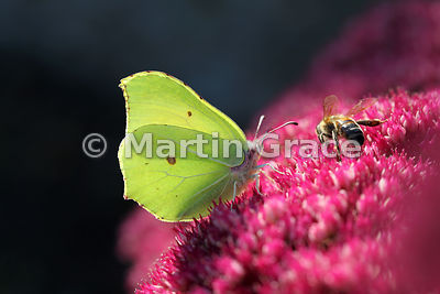Under side of a Brimstone butterfly (Gonopteryx rhamni) feeding with a honey bee on Sedum spectabile in an English garden