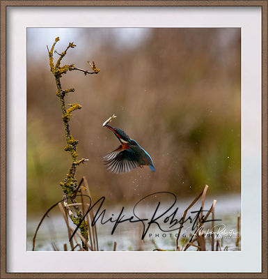 kingfisher-22-Edit