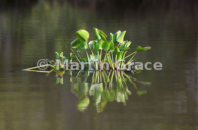 Small floating raft (camalote) of Common Water Hyacinth (Eichhornia crassipes), River Pixaim, North Pantanal, Mato Grosso, Brazil